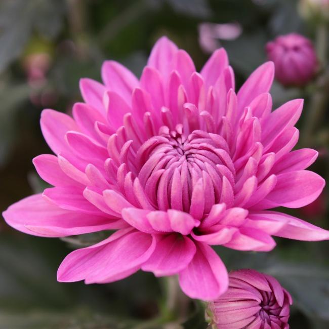 Chrysanthemum In Ceramic Pot Mothers Day Flowers Floric