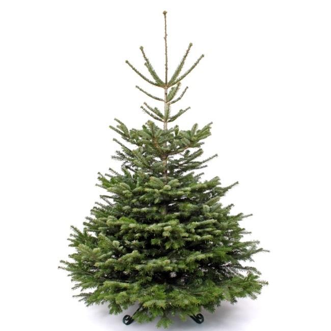 Christmas Tree Nordmann Fir: Super Deluxe Christmas Tree 150-180cm