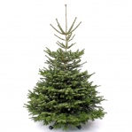 Super Deluxe Nordmann Fir Christmas Tree (150-180cm / 5-6ft)