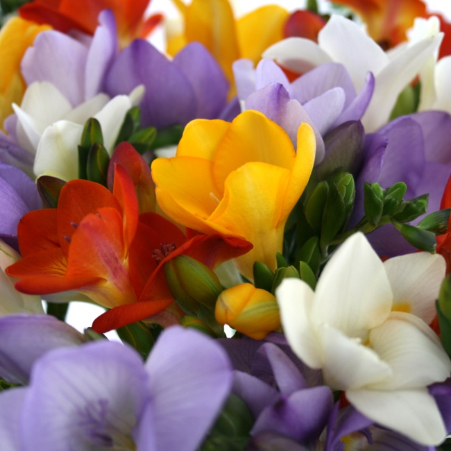Simply Scented Freesia   Flowers by Post   Floric