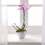 Phalaenopsis Orchid (Single Spike)