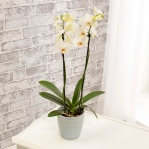 Double White Orchid & Stripped Pot