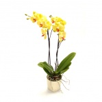 Phalaenopsis Orchid (Twin Spike)