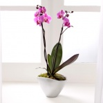 Phalaenopsis Orchid (Double Spike)
