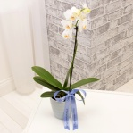 Single White Orchid & Stripped Pot