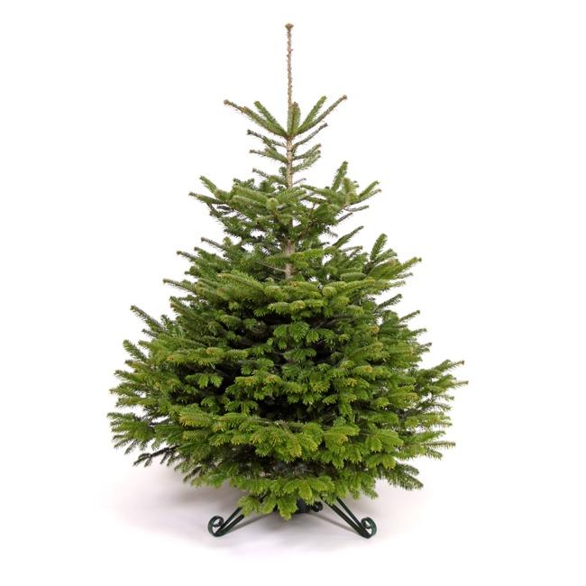 Christmas Tree Nordmann Fir: Nordman Fir Christmas Tree